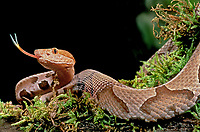 414414004 a captive northern copperhead agkistrodon contortrix a venomous pit viper flicks its tongue to sense its surroundings while coiled on a tree branch - species is native to the eastern and southeastern united states