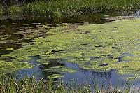 Schraubenalge, Grünalge, Schraubenalgen, Grünalgen, Fadenalge, Fadenalgen, Algenwatte, Algenmatte, Algenmatten, Algenteppich auf einem Teich, Süßwasseralge, Spirogyra spec., Chlorophyceae, green alga, green algae. Eutrophierung