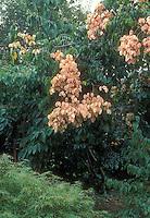 Goldenrain Tree Koelreuteria paniculata