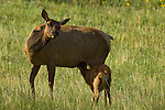 American elk, cow, calf, nursing, Cervus elaphus, behavior, meadow, wildflowers, nurturing, mothering, Estes Park, Colorado, Rocky Mountains