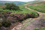 Footpath erosion. Upland scenery of the Quantock Hills, Somerset, England