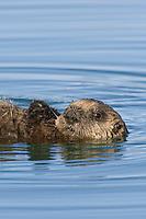 Sea Otter pup (Enhydra lutris)