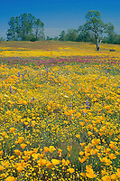 California poppies, California goldfields<br />
