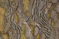 Eichen-Prozessionsspinner, Eichen - Prozessionsspinner, Eichenprozessionsspinner, Raupe, Raupen marschieren bei Tagesanbruch in langen Prozessionen zurück an die Stammbasis in ihr schützendes Gespinstnest, Thaumetopoea processionea, oak processionary moth