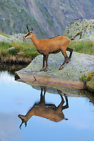 Chamois (Rupicapra rupicapra), adult with reflection in lake, Grimsel, Bern, Switzerland, Europe