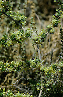 Stechender Spargel, Spitzblättriger Spargel, Wildspargel, Stechender Lianen-Spargel, Asparagus acutifolius, wild-asparagus