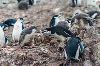 Antarctica expedition aboard the Hurtigruten FRAM ship. Chinstrap penguin rookery at Half Moon Island. Half Moon Island is a two kilometer long (1.2 mile), crescent-shaped island in the shadow of the picturesque mountains and glaciers of nearby Livingston Island.