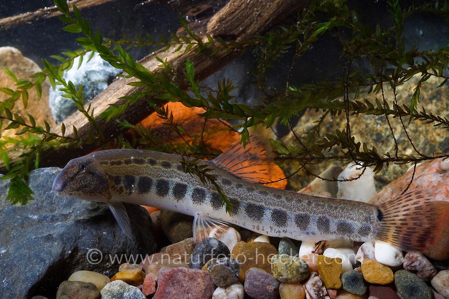 Steinbeißer, Dorngrundel, Steinbeisser, Cobitis taenia, pined loach, spotted weatherfish