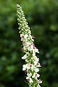 White nettle-leaved mullein (Verbascum chaixii 'Album'), early August.