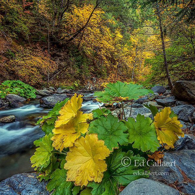Saxifrage, Indian Rhubarb, Darmera peltata, Yuba River; Sierra National Forest, California