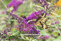 03017-01106 Giant Swallowtail butterfly (Papilio cresphontes) on Butterfly Bush (Buddlei davidii),  Marion Co., IL