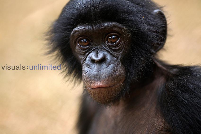 Bonobo baby aged 24 months portrait (Pan paniscus), Lola Ya Bonobo Sanctuary, Democratic Republic of Congo.