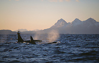 Killer whale Orcinus Orca Two males surfacing in mountainous fjord
