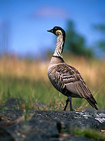 A proud and stately Nene is the State Bird of Hawaii found in Haleakala National Park on Maui