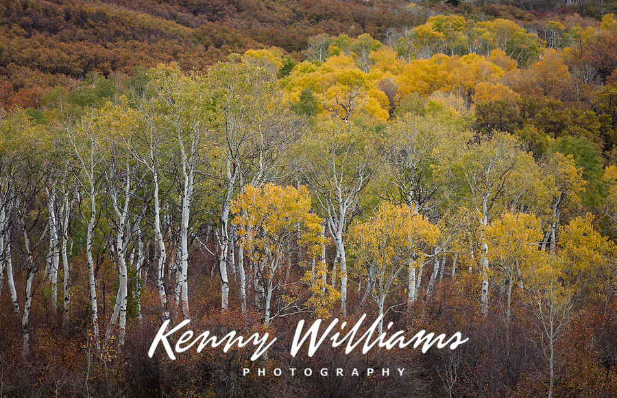 Aspen Trees in Autumn Fall Colors, Colorado, USA.
