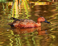 Adult male cinnamon teal