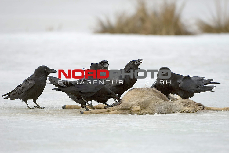 Kolkraben (Corvus corax) an einem Luder, totes Reh, Eis, Nahrungserwerb,  Winter, MŁritz Nationalpark, Rabenvogel<br /> <br /> Foto: nordphoto *** Local Caption *** Original Naturfoto - hŲhere AuflŲsung auf Anfrage - Dig. Foto