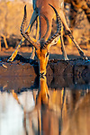 Botswana, Central District, impala (Aepyceros melampus)