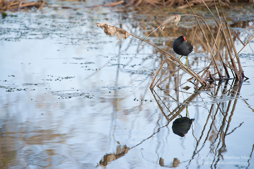 Columbia Ranch, Brazoria County, Damon, Texas; a solitary Common Gallinule (Gallinula galeata) standing on the reeds, reflecting in the water's surface of the slough in afternoon sunlight