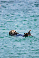 Asian sea otter, resting in surface of the sea, Enhydra lutris lutris, endangered species, Cape Erimo, Pacific Ocean