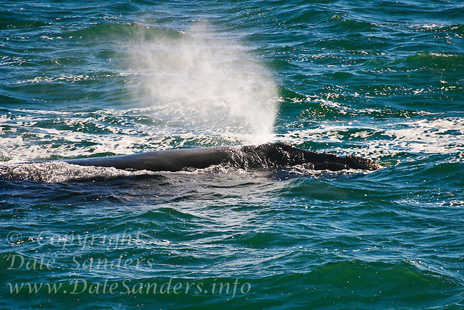 Southern Right Whale ( Eubalaena glacialis ) Walkers Bay near Hermanus, South Africa.