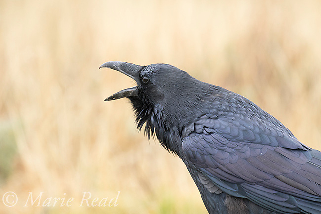 Common Raven (Corvus corax), adult calling, Lamar Valley, Yellowstone National Park, Wyoming, USA
