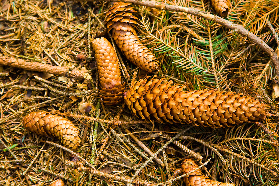 Cones found in the woods