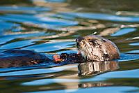 Sea Otter feeding, California..