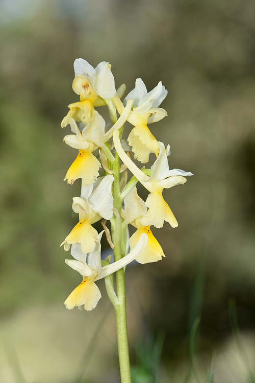 Sparse-flowered Orchid - Orchis pauciflora