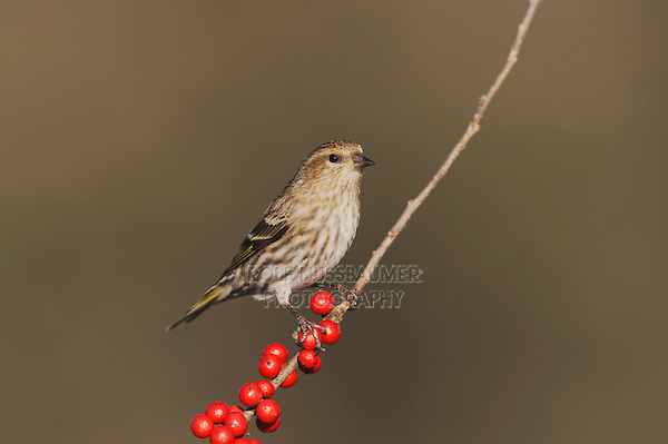Pine Siskin (Carduelis pinus), adult perched on Possum Haw Holly (Ilex decidua) berries, Bandera, Hill Country, Texas, USA