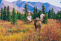 Bull moose, foothills of the Alaska mountain range, Denali National Park, Alaska