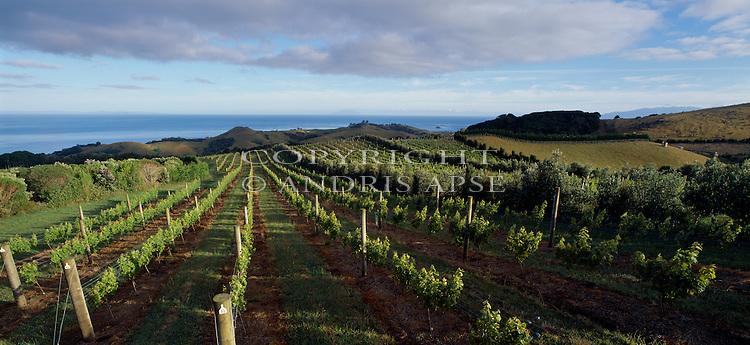 Stoney Batter Vineyard. Waiheke Island. Auckland Region. New Zealand.