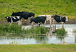 Krowy na biebrzańskich łąkach, okolice Suchowoli, Polska<br /> Cows on the Biebrza meadows, near Suchowola, Poland