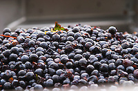 Harvested grapes. Grape reception at the winery. Cabernet Franc. Chateau Reignac, Bordeaux, France