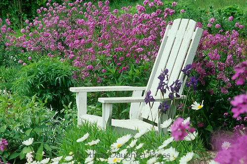 White chair and pink flowers, dames rocket,  with daisies in cottage garden
