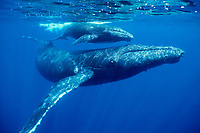 humpback whale, Megaptera novaeangliae, mother and calf, Kona Coast, Big Island, Hawaii, USA, Pacific Ocean; caption must include notice that photo was taken under NMFS research permit #587