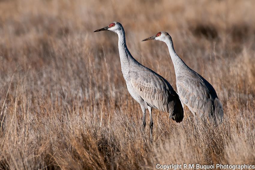 Sandhill Cranes walking in grass