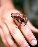 PANAMA, Cana, a frog sits on a man's hand in the Darien Jungle, Cana Field Station, Central America