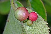 Gallwespe an Rose, Diplolepis eglanteriae, Diplolepis eglanteria, cynipid wasp, Rose smooth pea-gall cynipid