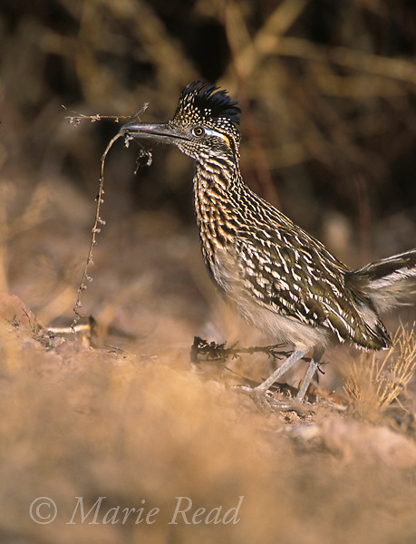 Greater Roadrunner (Geococcyx californianus), carrying nest material, Bosque Del Apache National Wildlife Refuge, New Mexico, USA<br /> Slide # B69-102