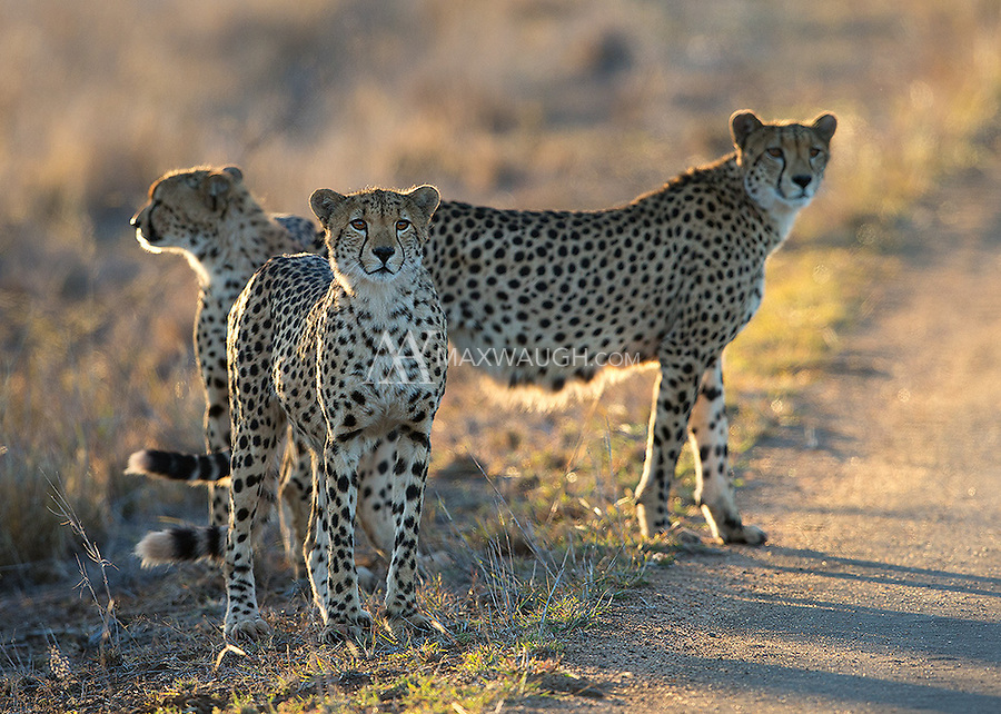Late during our stay in Kruger we happened upon a family of four cheetahs near the road.