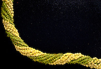 Pikake and pakalana lei intertwined together on black backround