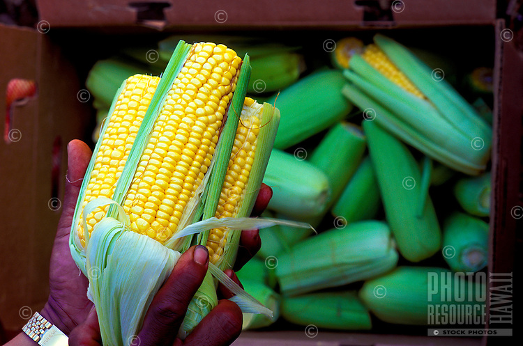 Hands holding just harvested corn on the cob from the farm of Silvestre Tumbaga, upcountry, Kula, Island of Maui