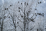 Bald eagles roost among the cottonwoods, Chilkat River Valley, Alaska