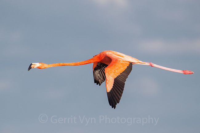 American Flamingo (Phoenicopterus ruber) in flight. Yucatan, Mexico.