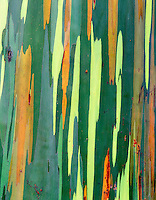 V00332M.tif   Close up of Painted Eucalyptus bark. Maui, Hawaii