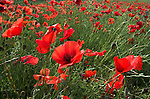 Field Poppy, Papaver rhoeas, showing field of flower heads, green and red.France....