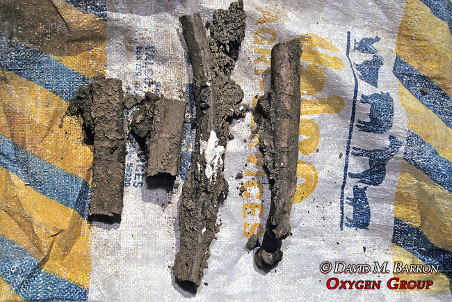 Bones From Triceratops