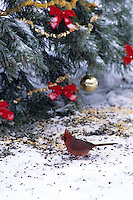 01530-02610 Northern Cardinal (Cardinalis cardinalis) male eating seeds by Christmas tree, Marion Co.   IL