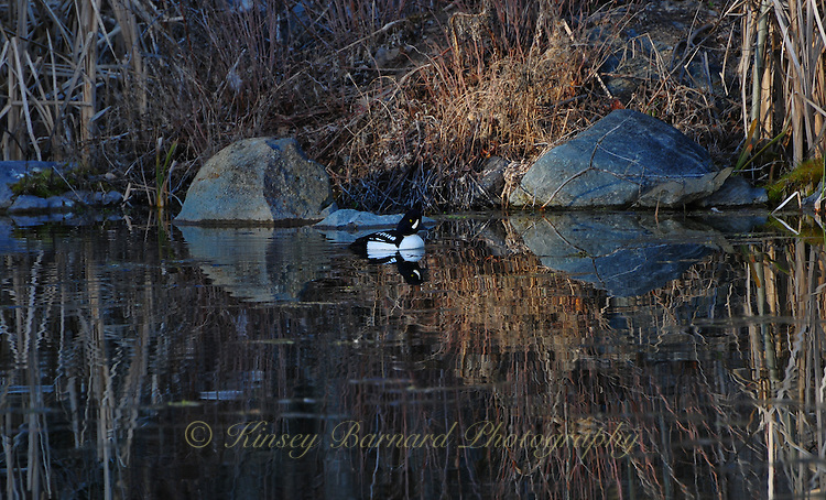 Goldeneye paddling on a pond in early spring